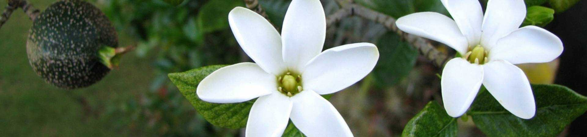 Banner gardenia